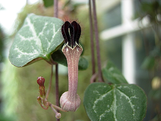 ceropegia_woodii.jpg