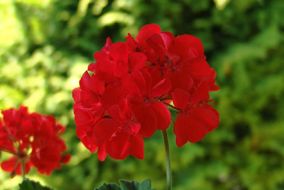pelargonium_flower.jpg