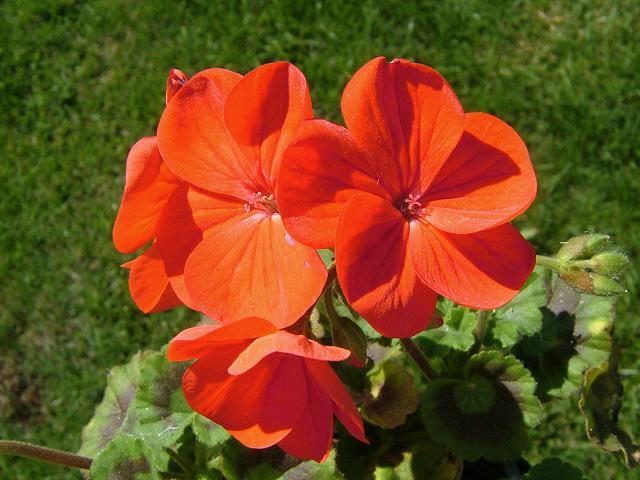 Пеларгония Pelargonium - Садовые, комнатные растения и цветы (фото, видео, от